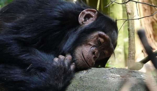 Korsa människa och schimpans